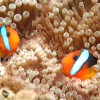 800px-Clownfish,_Great_Barrier_Reef,_Cairns,_Australia