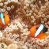 800px-Clownfish,_Great_Barrier_Reef,_Cairns,_Australia