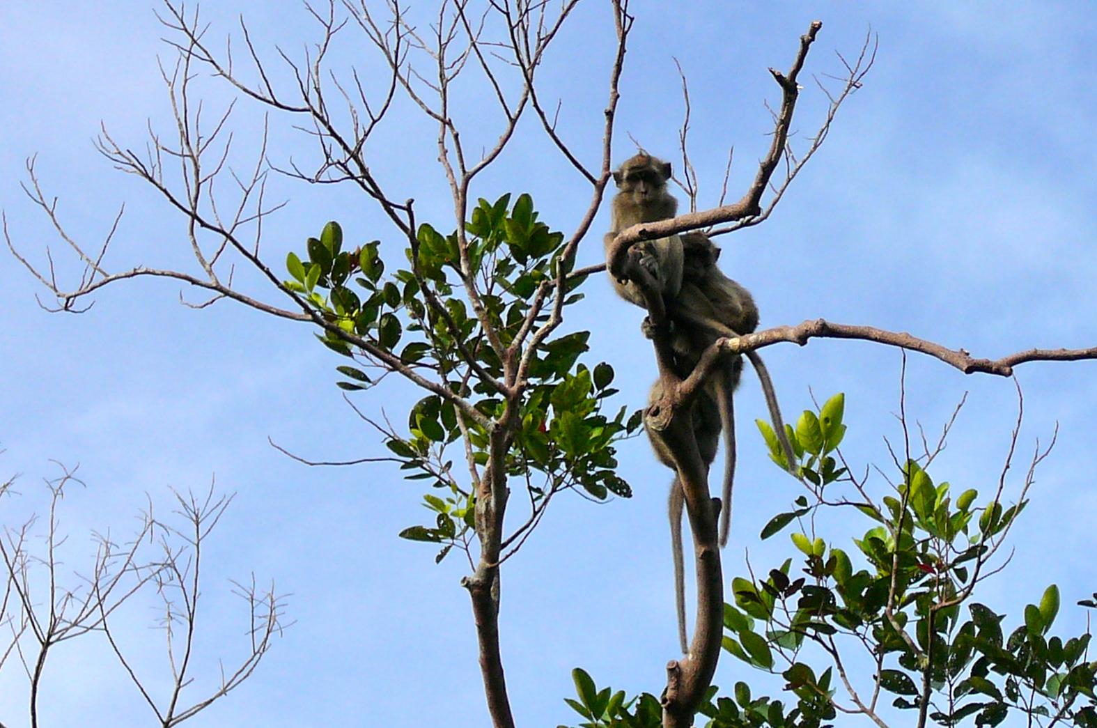 Macaque aper i Borneo. Bildet fra Rainforest Action Network.