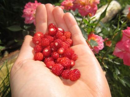 Nyplukka bær. Foto.