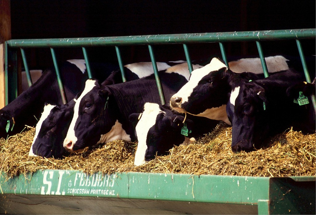Fotografi av fem kyr som spiser høy gjennom et gitter spesiallaget for foring.