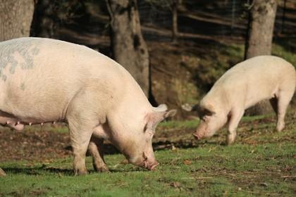 Norsk vegansamfunn jobber for at alle dyr skal slippe å bli avlet frem for utnyttelse og mat. Er for eksempel griser mat, eller lever de for sin egen del? Foto: http://farm3.staticflickr.com/2619/4035148780_278301c1d1.jpg