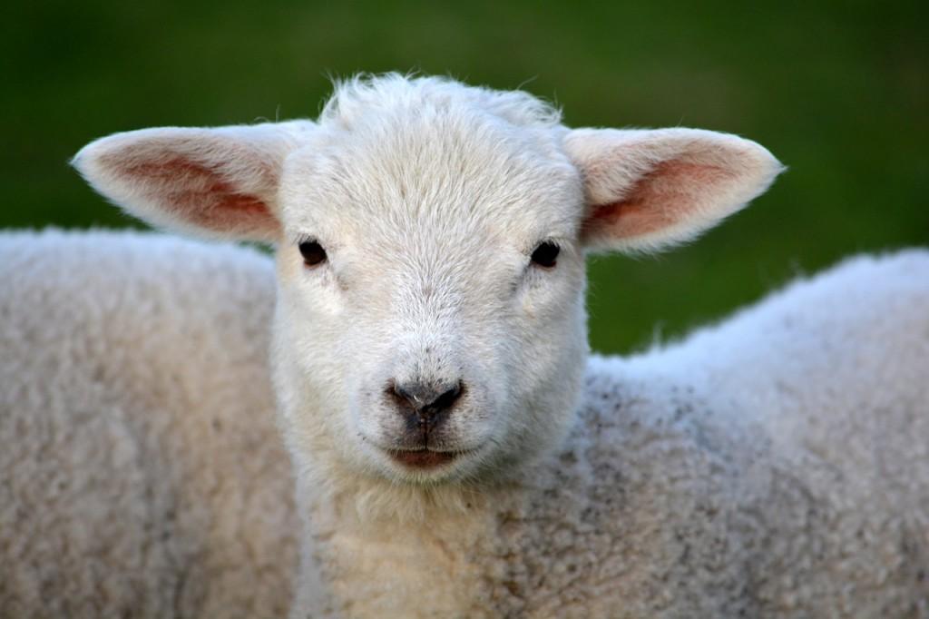 Fotografi (nærbilde) av et lam som ser inn i kameraet.