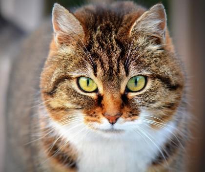 Foto av katt med brun pels og hvite detaljer foran på brystet. Mørkebrune striper. Katten ser rett inn i kameraet, og er fotografert rett forfra, ganske nært.