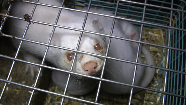 Hvit mink med øyeskade